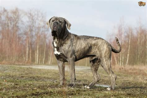pictures of corso dogs corso breed information buying advice photos