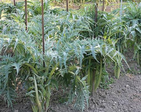 cardon cynara cardunculus semis r 233 colte culture