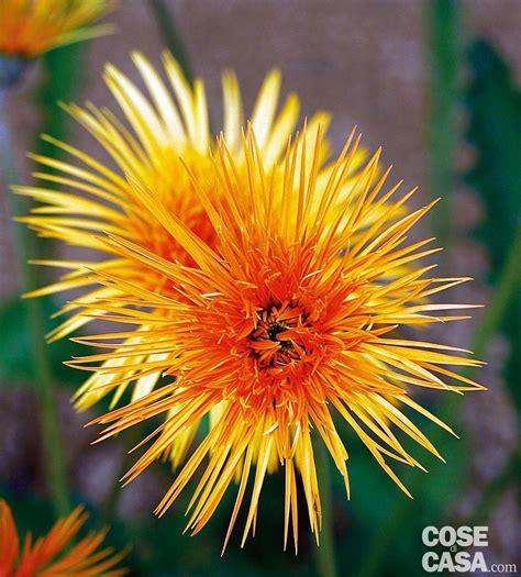 crisantemo fiore chrysanthemum hybr spider crisantemo cose di casa