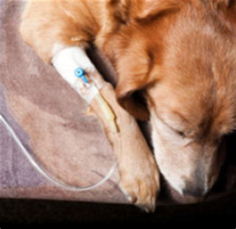 cancer golden retrievers symptoms ask the expert what to do if your pet has cancer