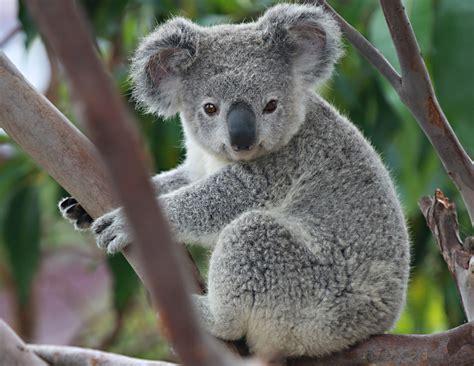 imagenes animadas koala koala angie bell flickr