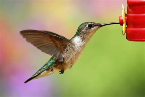 hummingbirds easy to love easy to kill