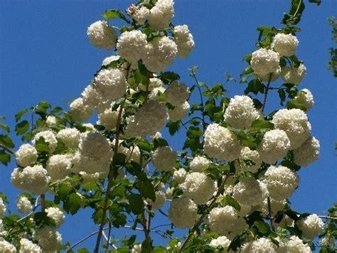 palla di neve fiore palla di neve piante da giardino palla di neve giardino