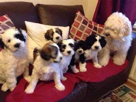 havanese puppies for sale ireland tibetan terriers for sale in ireland puppies for sale dogs for sale pups for sale