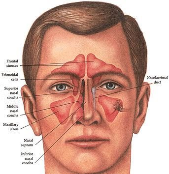 anatomy of human nose nose human anatomy organs template baldaivirtuves info human organs nose