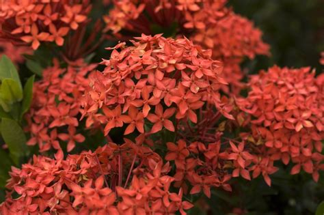 Ixora Az ixora coccinea or jungle geranium of the woods and jungle is a common flowering