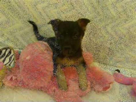 puppies for adoption in ri lab shepherd mix puppies for sale pets for adoption nj ny nh dc ri