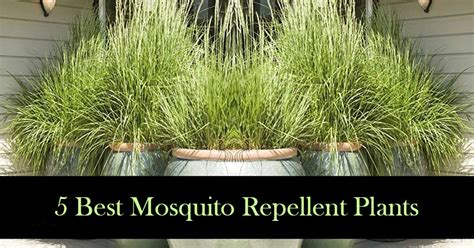 best plant for mosquito repellent 5 mosquito repellent plants and how to use them best