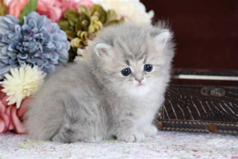 rug hugger kittens rug hugger cats roselawnlutheran