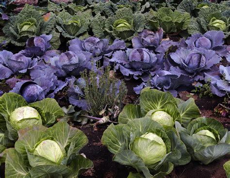 brassicas kale cabbage broccoli turnip rutabaga