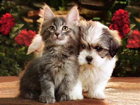 kittens and puppies hd animals puppies and kittens