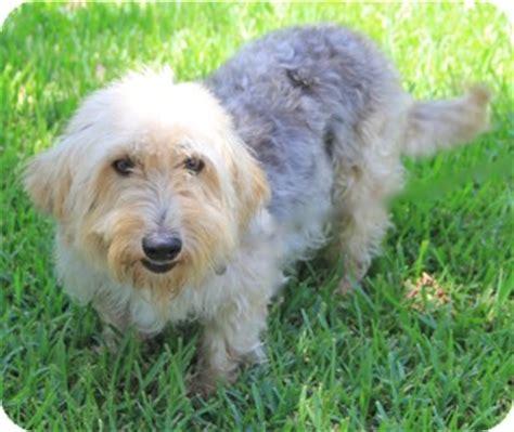 basset hound yorkie mix yorkie terrier basset hound mix for adoption in norwalk connecticut