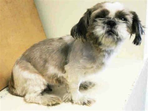 shih tzu rescue island warwick accused of animal cruelty for abusing and kicking aged shih tzu pet