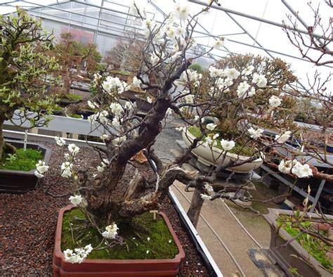 Praxisräume Kaufen prunus mume aprikose bonsai park remscheid