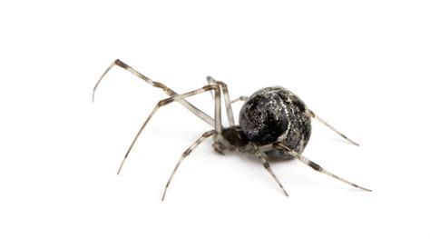 common house spiders common house spider horizons pest control pest control service in birmingham al