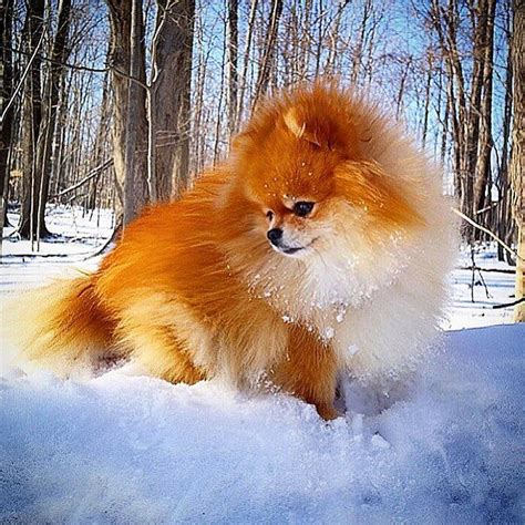 where do pomeranians come from 1000 ideas about pomeranian chihuahua on chihuahua mix pomeranian mix