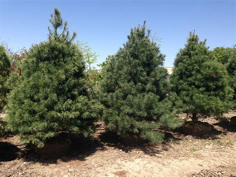 small white trees for sale pine trees for sale archive
