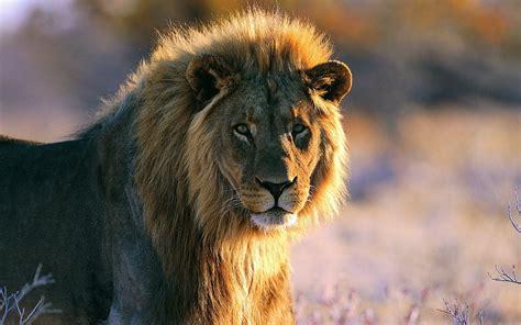 imagenes leones selva leon rey de la selva fondos de pantalla hd wallpapers hd