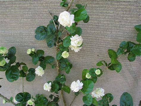 vine jasminum sambac grand duke of tuscany okay of