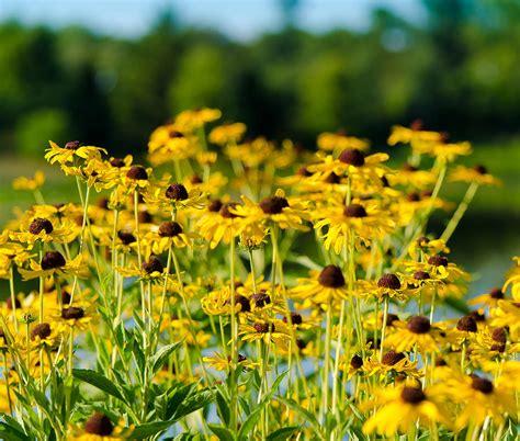 sunflower patch sunflower patch photograph by john ullrick