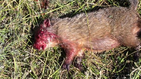 groundhog 8 5 2017 kill