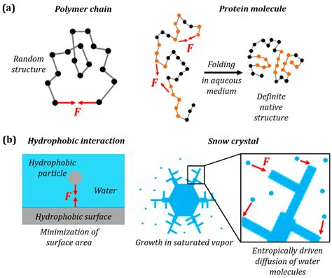 a protein is a polymer of why entropic forces in a polymer molecule may be similar