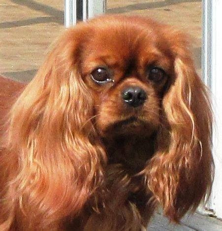 ruby cavalier king charles spaniel puppies for sale ruby cavalier spaniel cavalier king charles spaniels