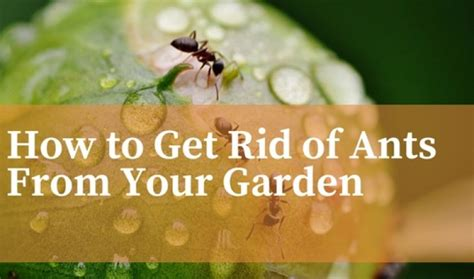 how to get rid of ants from your garden read the guide