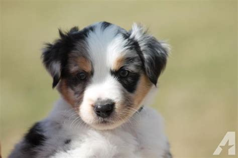 aussie mix puppies for sale mini aussie mix puppies for sale in deer lake washington classified americanlisted