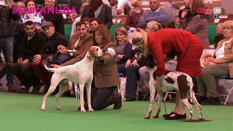 best breed of crufts 2016 pointer best of breed funnydog tv