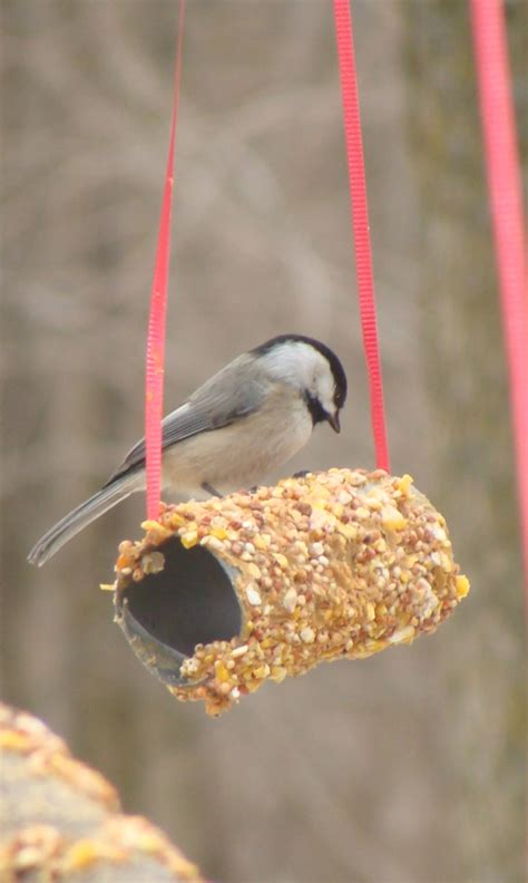 diy plans   homemade bird feeders  evergreen