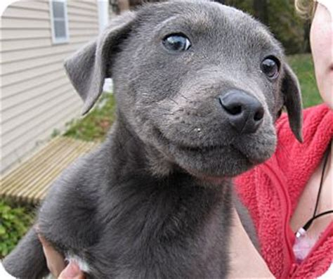 lab puppies nj blue adopted puppy south jersey nj labrador retriever weimaraner mix