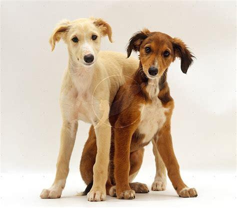 free puppies ta saluki dogs breeds pets