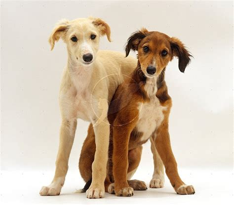 puppies puppies puppies ta saluki dogs breeds pets