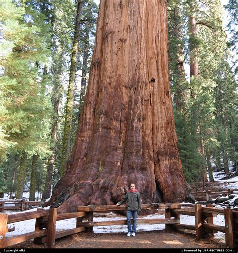 general sherman tree sequoia national park in california usa pictures photos california