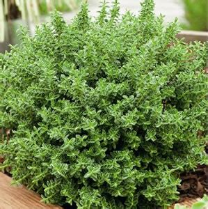 hebe buxifolia a very pretty and easy to grow small evergreen flowering shrub with masses of