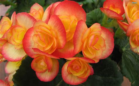 Begonia Da Esterno begonia piante da giardino begonia pianta