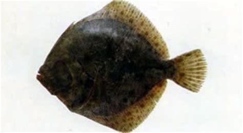 rombo come cucinarlo foto di alcune specie di pesci dell adriatico e