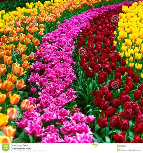tulip flowers garden  spring background  pattern stock