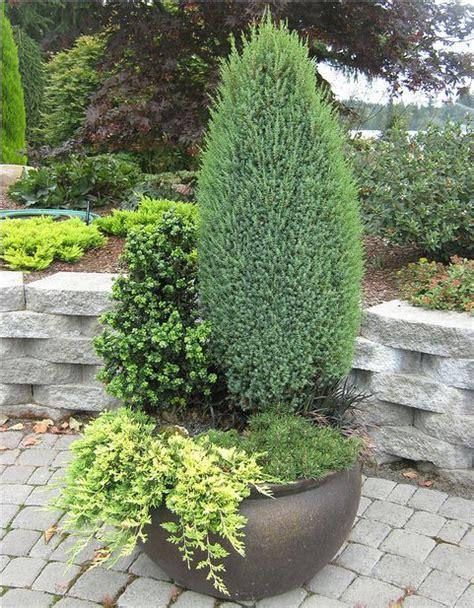 tree container in this container juniperus communis compressa upright
