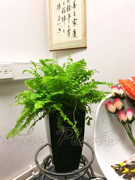 nephrolepis boston fern indoor clean air plant in pot