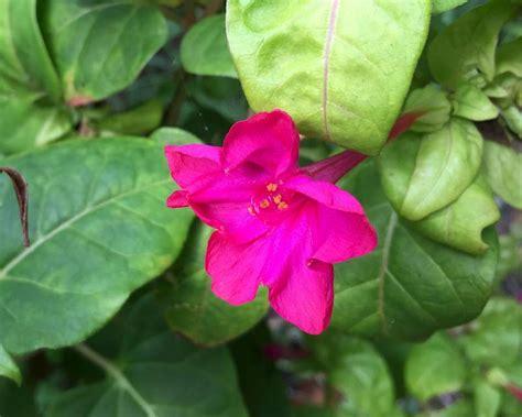 biji benih four o clock pink quality gardensonline mirabilis jalapa