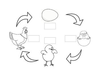 chicken life cycle coloring page 100 best life cycle of a chicken printable on