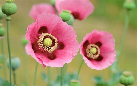fondo de pantalla poppies flowers pink color hd