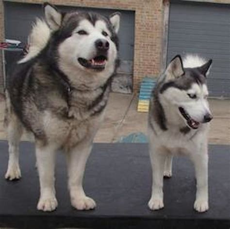 alaskan husky alaskan malamute breed information and images k9rl