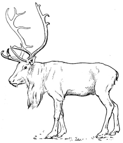 coloring pages of tundra animals tundra animals coloring pages
