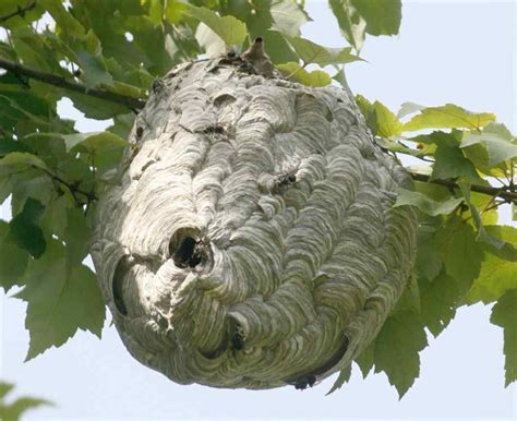 wasp nest removal safely removing nests naturally