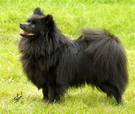 german spitz puppies klein german spitz