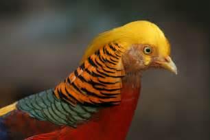 Raise Chicken In Backyard Red Golden Pheasant