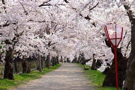 Japan Flower Tunnel by Visit Hirosaki In Aomori Prefecture One Of The Best Spots